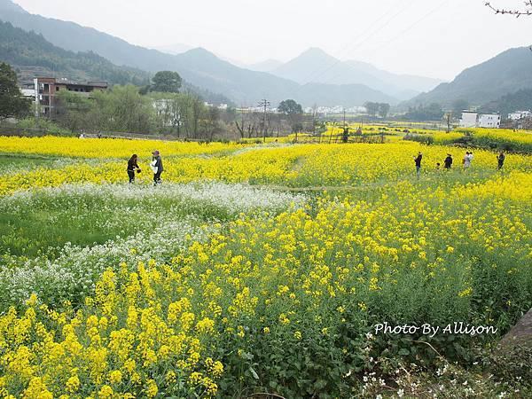江嶺油菜花季