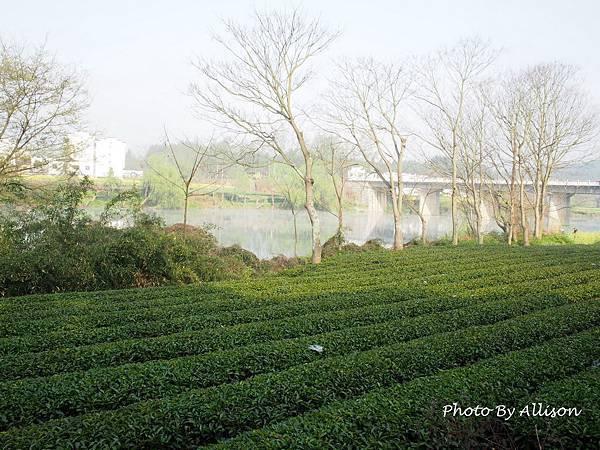 飯店旁的茶園