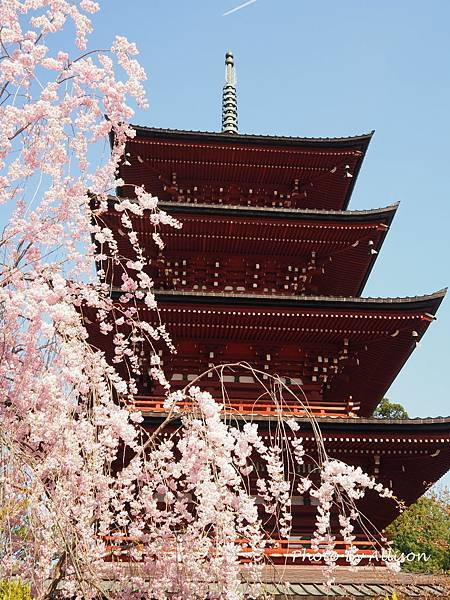 最勝院五重塔櫻花