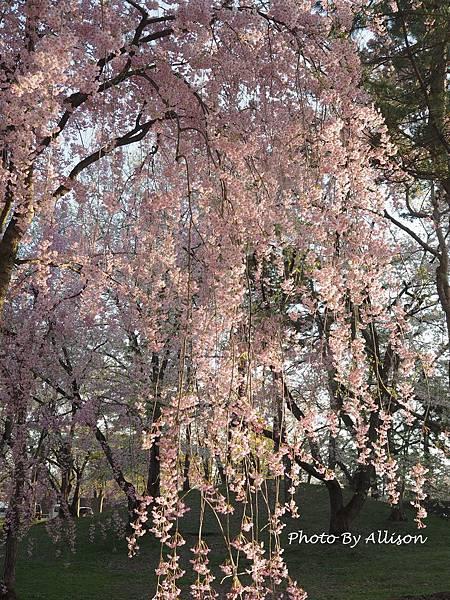 弘前城垂枝櫻