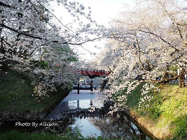 弘前城櫻花盛況