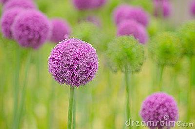 allium-flower-close-up-10017980.jpg
