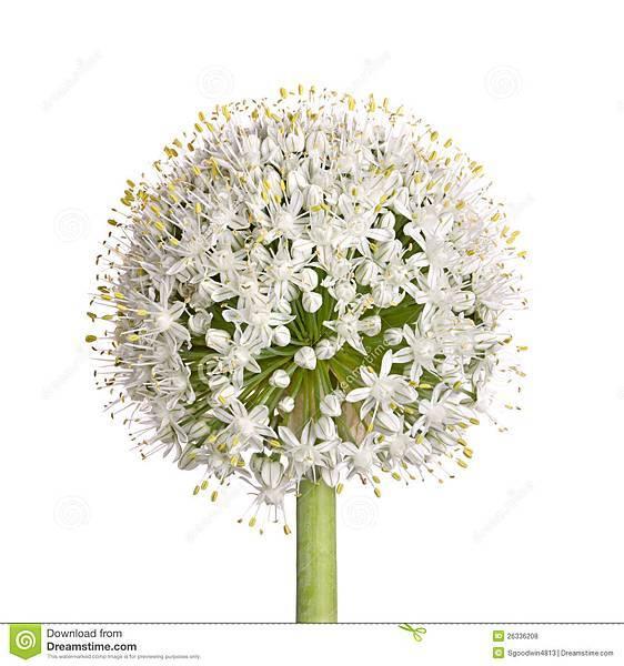 flower-head-onion-allium-cepa-white-26336208.jpg