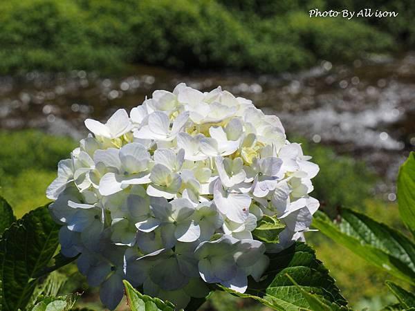 杉林溪繡球花ㄐㄧ
