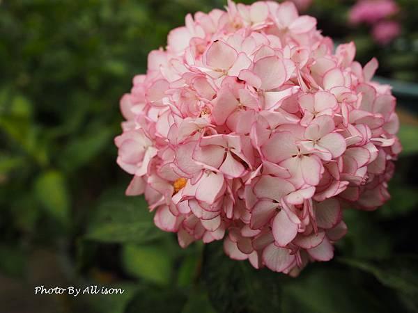 鑲邊的繡球花朵