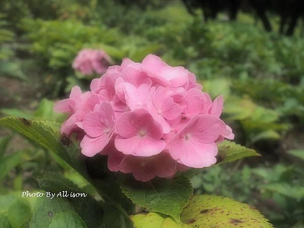 浪漫粉紅繡球花