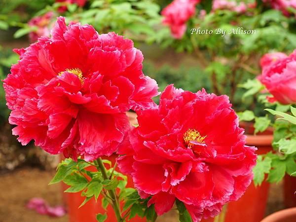 花開富貴--牡丹花