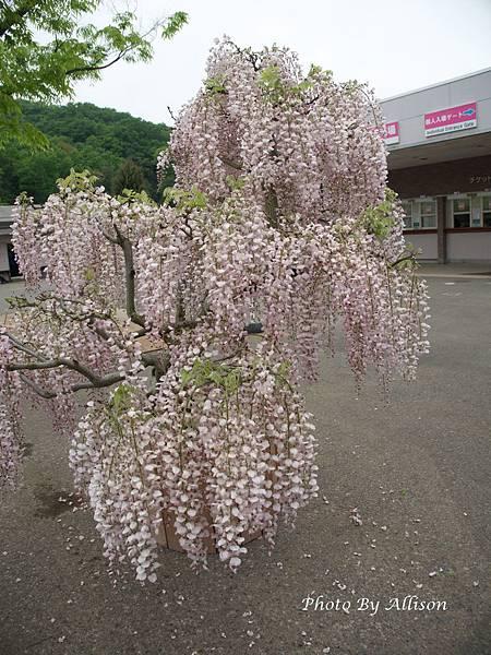 足利紫藤花