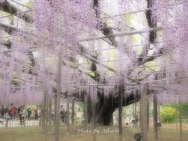 足利紫藤花老樹