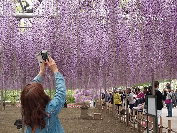 足利紫藤花瀑布