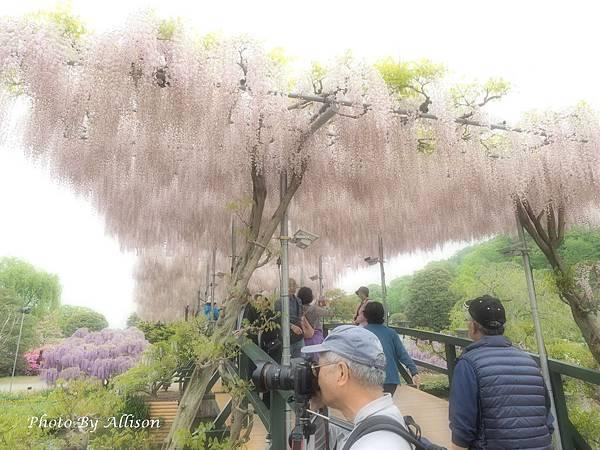 足利紫藤花棚
