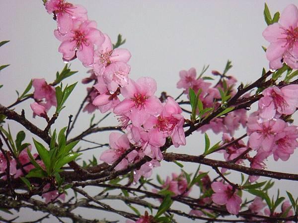 珠淚的小花.jpg