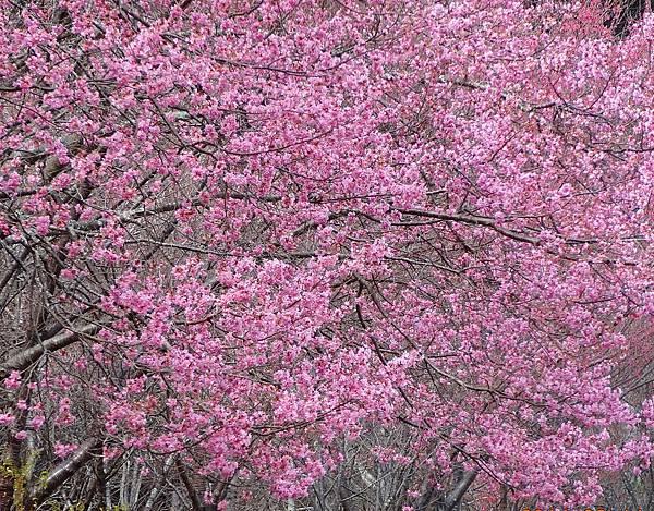 武陵農場櫻花季1