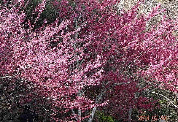 武陵農場櫻花季2