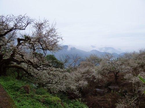 2012南投賞梅 (1)