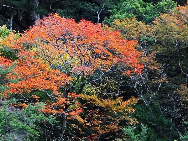 福壽山楓紅 (12).jpg
