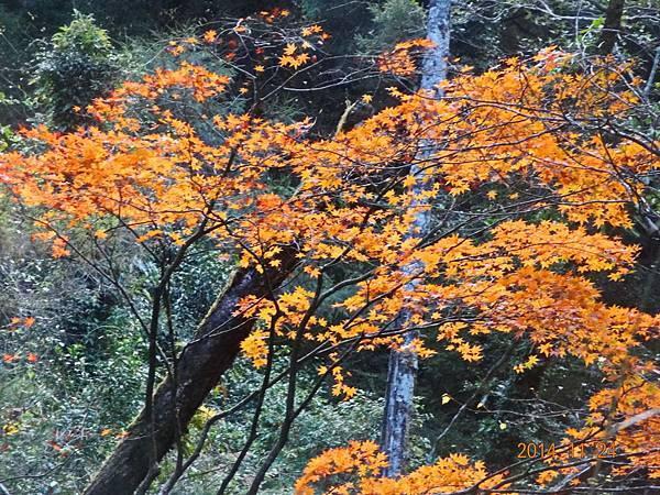 福壽山楓紅 (21).jpg