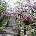 陽明山大島櫻、杜鵑~竹子湖海芋~20110315 (3).jpg
