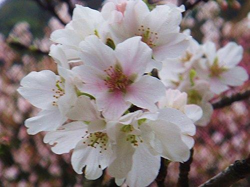 陽明山大島櫻、杜鵑~竹子湖海芋~20110315 (5).jpg