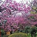 陽明山大島櫻、杜鵑~竹子湖海芋~20110315 (8).jpg