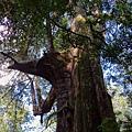 鎮西堡檜木林區~2012秋遊新竹(二) (11)