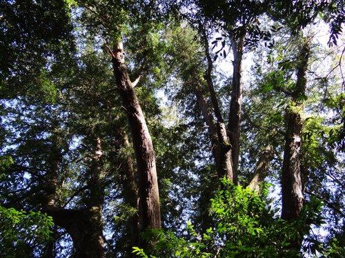 鎮西堡檜木林區~2012秋遊新竹(二) (14)