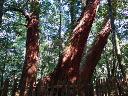 鎮西堡檜木林區~2012秋遊新竹(二) (18)