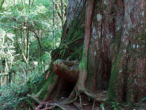 鎮西堡檜木林區~2012秋遊新竹(二) (16)