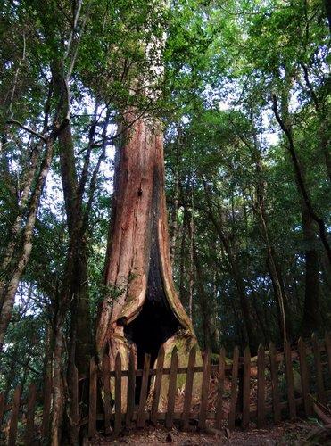鎮西堡檜木林區~2012秋遊新竹(二) (17)