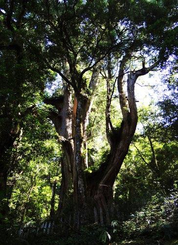 鎮西堡檜木林區~2012秋遊新竹(二) (1)