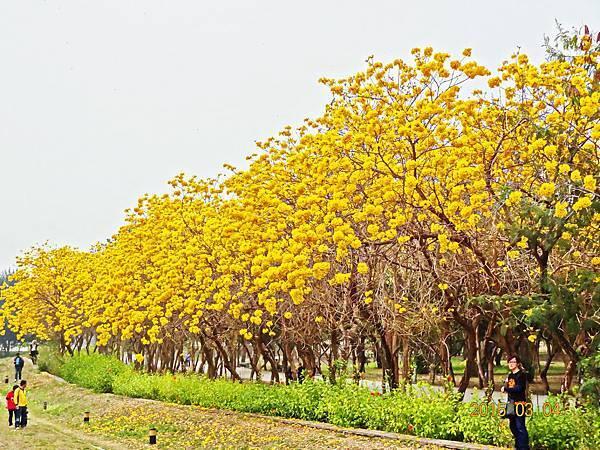 A黃色風鈴花 (6)