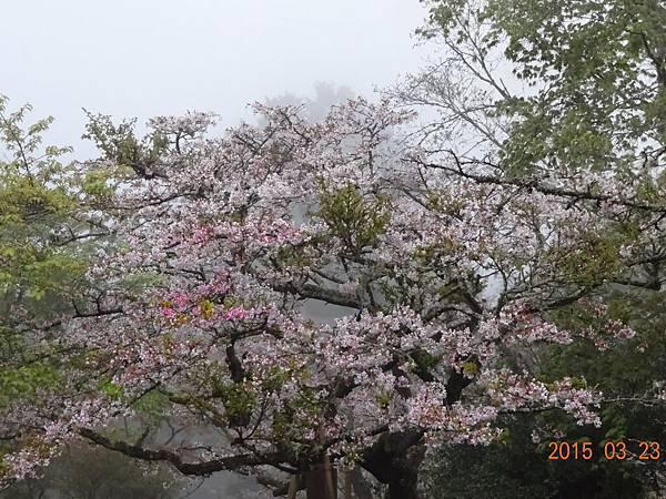 20150323阿里山 (4).JPG