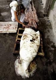 大王魷魚 Architeuthis dux