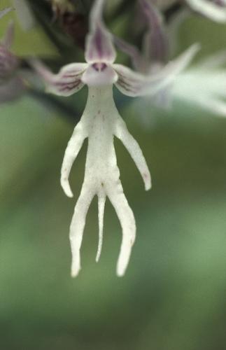 裸男蘭 Orchis italica - 裸男蘭