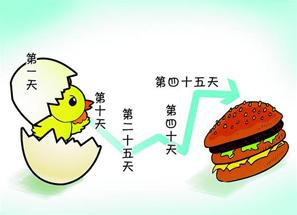 化學速成雞能長三両肉 - 化學速成雞