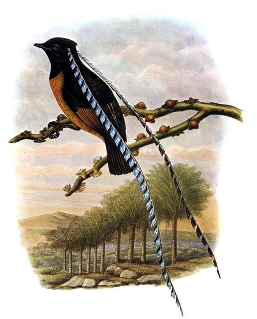 鳥中呂布薩克森王天堂鳥