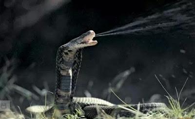 最毒動物 - 6.毒液眼鏡蛇