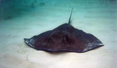 最毒動物 - 4.黃貂魚