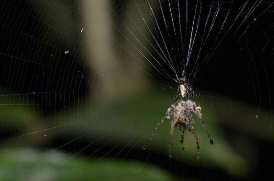 編織替身蜘蛛
