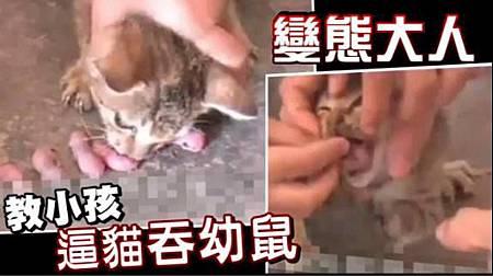 童逼貓吃幼鼠