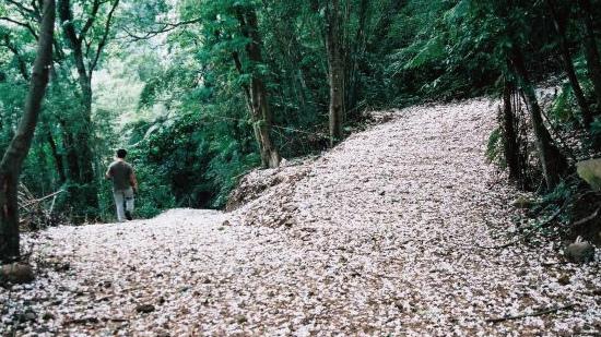 十八尖山、高峰植物園桐花步道_02.jpg