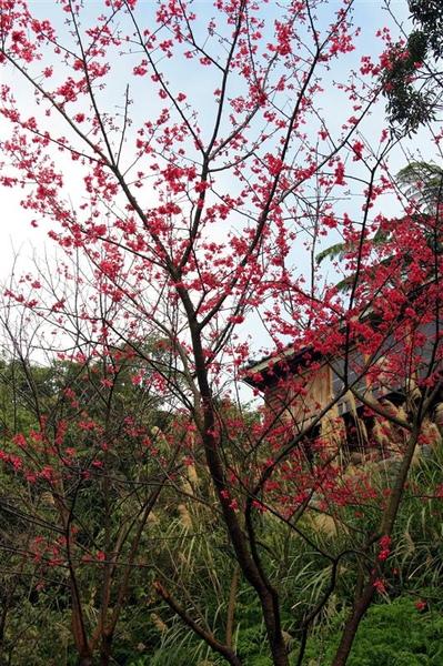 山櫻花 開