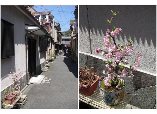 巷道內的櫻花.jpg