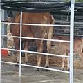 小牛才出生沒多久