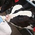 小乳牛愛喝牛奶