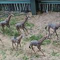 不曉得為什麼鐵牛館裡會放長頸鹿