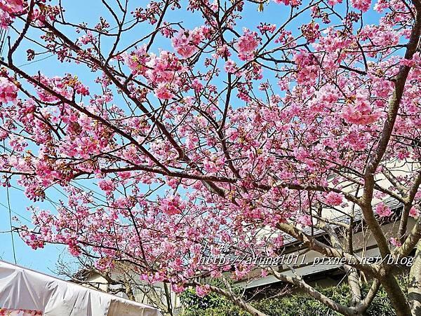 河津櫻祭 (39).JPG