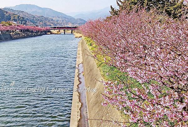 河津櫻祭 (46).jpg