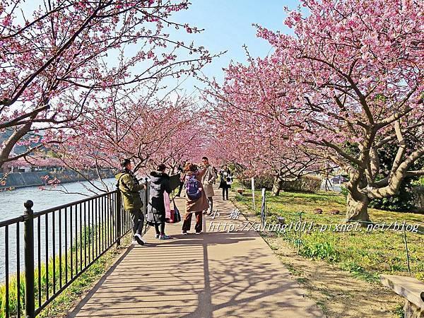 河津櫻祭 (51).JPG