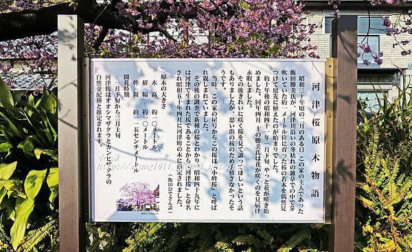 河津櫻祭 (65).JPG